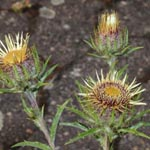 Carlina vulgaris - Golddistel