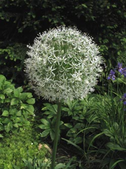 Allium_stipitatum_MountEverest_BORoncalli_110613_ja01.jpg