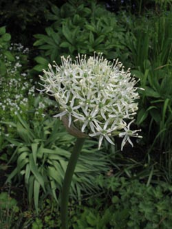 Allium_stipitatum_Mount_Everest_Roncalli_310514_ja02.jpg