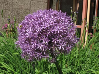 Allium_stipitatum_Violet_Beauty_BORoncalli_130512_ja04.jpg