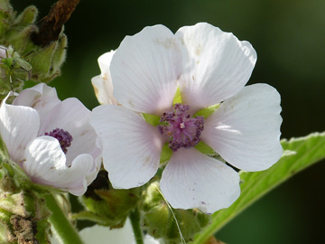 Althaea_officinalis_Bergkamen_GrossesHolz_130816_WHessel02.jpg