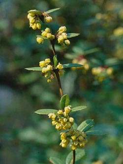 Berberis_julianae_ja01.jpg