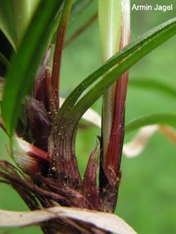 Carex_digitata_BWHuefingen240509_ja03.jpg