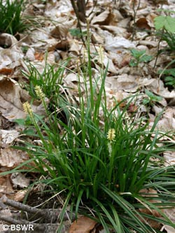Carex_sylvatica_120409_CB01.jpg