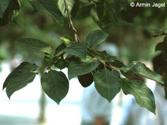 Diospyros_kaki_China_ja01.jpg