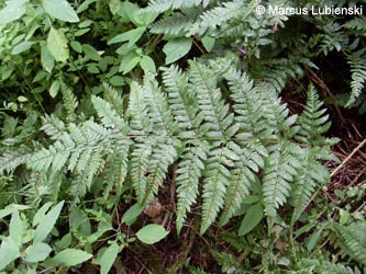 Dryopteris_deweveri_Breckerscheid240710_ML01.jpg