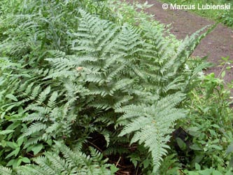 Dryopteris_deweveri_Breckerscheid240710_ML02.jpg