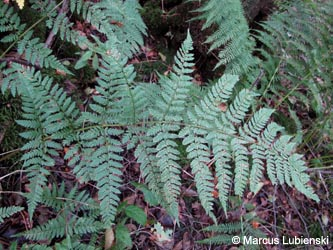 Dryopteris_deweveri_MKHerscheidHervelerBruch2011_ML04.jpg
