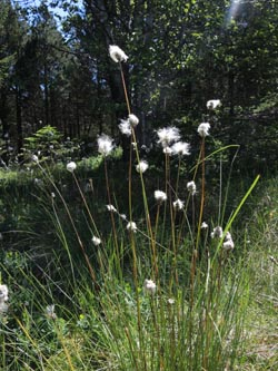 Eriophorum_vaginatum_Schonach_Blindensee_SWD2014_220614_ja01.jpg