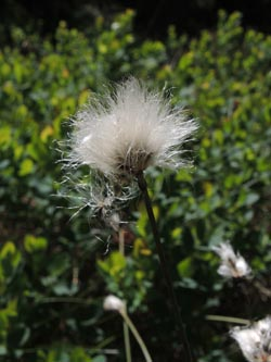 Eriophorum_vaginatum_Schonach_Blindensee_SWD2014_220614_ja02.jpg
