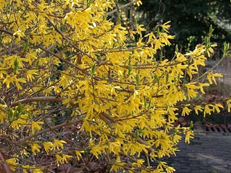 Forsythia_intermedia_ho03.jpg
