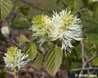 Fothergilla_major_BGD_ja01.jpg