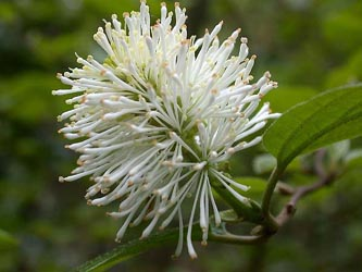 Fothergilla_major_ho01.jpg