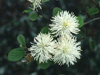 Fothergilla_major_ja02.jpg