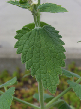 Nepeta_cataria_RUB_140710_TK04.jpg