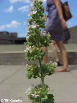 Nepeta_cataria_RUB_140710_TK05.jpg