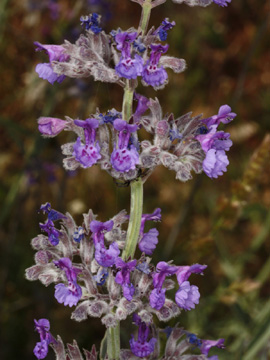Nepeta_nepetella_murica_ElTorcal_Andalusien_290510_TS01.jpg