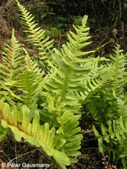 Polypodium_vulgare_agg_Calmont_Mosel%202009_PG01.jpg