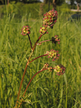 Sanguisorba_minor_minor_BOQuerenburg_BUNDObstwiese_040518_ja05.jpg