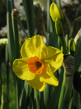 Narcissus Falconet